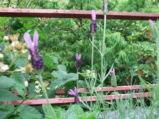 070609_lavender2